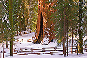 The General Sherman Giant Sequoia (Sequoiadendron giganteum) in winter, Giant Forest, Sequoia National Park, California