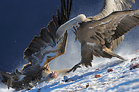 Griffon vulture; Gyps fulvus, Ordesa National Park, Torla, Aragon, Spain.