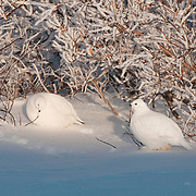 A ptarmigan flock among the willows near Hudson Bay, Manitoba, Canada.