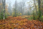 Blackwater Falls State Park, West Virginia.   It has been raining for a couple of days by the time I reach the park. Not just raining...steady, hard rain.  The creeks are roaring, the vegetation is waterlogged, even the air is wet.  This morning it stopped, but the fog remains.   My head is full of a hundred conversations, and I need to clear it, so I put up the hood of my rain gear and head down the trail.   The trail is tight to the woods, tighter yet because of the thick cloud between the trees.   Enclosed in clothing and foliage  just cages every problem that should be spilling out and left in my footprints, as I march, head down to watch my footing, towards a lookout, questioning even the wisdom of that given the visibility.  But at length I come to a clearing, an island the mist seems to circle around through the forest on all sides.  Ferns batted down by the rain and tress stripped randomly of leaves, the forest opens up a little and lets some clarity in.  Not much...even the other side is murky and threatening.  But, for a little while, I work, and the forest is kept at bay.  Maybe that's all I need.