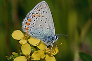 Common Blue (Polyommatus icarus) Butterfly shot in Israel, Golan Heights Spring April 2009