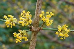 The scented flowers of Cornus mas<br /> Cornelian cherry