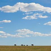 Elephants on the plains of the Serengeti. Masai Mara National Reserve, Kenya, Africa.
