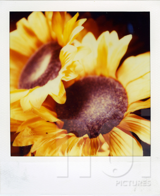 Polaroid of yellow sunflowers in bloom, Palawan Island, Philippines, Southeast Asia