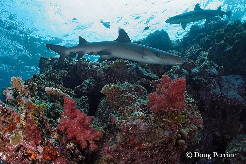 whitetip reef shark, Triaenodon obesus, at Shark Reef Marine Reserve, Beqa Passage, Viti Levu, Fiji ( South Pacific Ocean )
