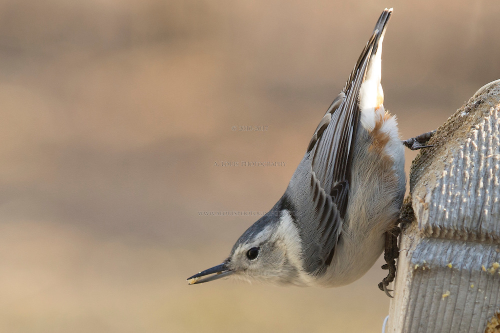 White breasted nuthatch hanging on a feeder