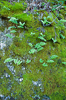 Ferns grow out of the moss covered rock on Pine Ridge Trail, Big Sur, California.