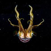 Caribbean reef squid (Sepioteuthis sepioidea) portrait, Bahamas.