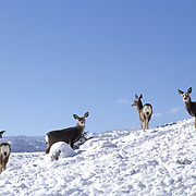 Mule Deer, (Odocoileus hemionus) Small herd on hillside. Montana. Rocky Mountains. Winter.