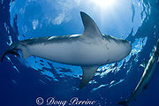 tiger shark ( Galeocerdo cuvier ), North Shore, Oahu, Hawaii, USA ( Central Pacific Ocean )