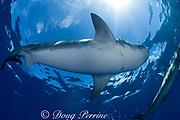 tiger shark ( Galeocerdo cuvier ), North Shore, Oahu, Hawaii, USA ( Central Pacific Ocean )
