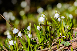 THEMENBILD - Frühlingsknotenblumen auf einer Lichtung im Wald, aufgenommen am 02. April 2018, Kaprun, Österreich // Spring knot flowers on a glade in the forest on 2018/04/02, Kaprun, Austria. EXPA Pictures © 2018, PhotoCredit: EXPA/ Stefanie Oberhauser