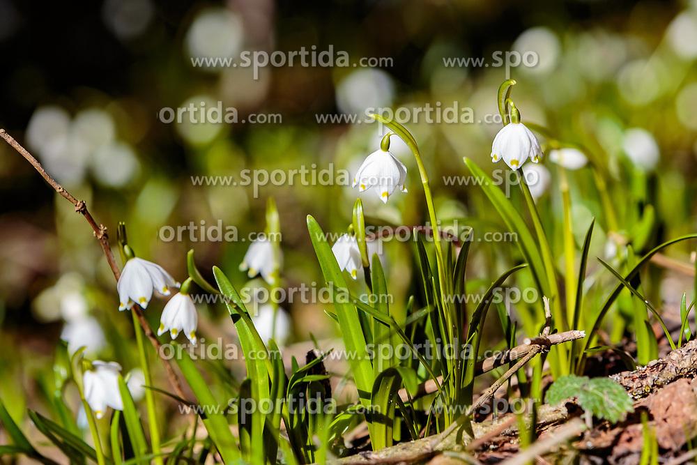 THEMENBILD - Frühlingsknotenblumen auf einer Lichtung im Wald, aufgenommen am 02. April 2018, Kaprun, Österreich // Spring knot flowers on a glade in the forest on 2018/04/02, Kaprun, Austria. EXPA Pictures © 2018, PhotoCredit: EXPA/ Stefanie Oberhauser
