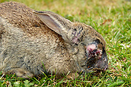 Rabbit Oryctolagus cuniculus Length 40-55cm Familiar, long-eared social burrowing mammal. Lives in tunnel complexes called warrens. Mainly nocturnal or crepuscular; diet is vegetarian. Adult has mainly greyish brown fur with rufous nape and pale greyish underparts. Long ears have rounded, brown tips and tail is dark above and white below. Legs are long but relatively shorter than those of Brown Hare. squeals loudly in alarm. Introduced to Britain but now widespread and common in grassland, scrub and on roadside verges.