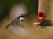 Incoming coal tit to a feeder, tilted by the weight of a chaffinch out of frame. The motion blur was used creatively and was necessary due to low lighting.
