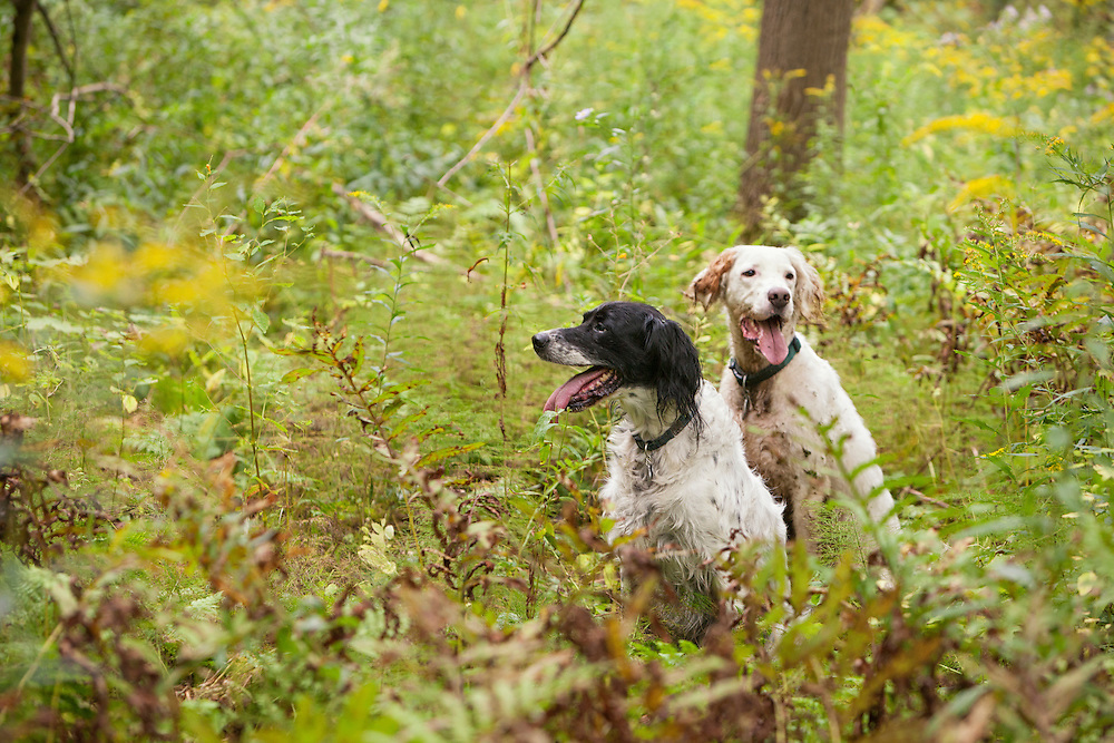 Brittany Spaniels in the ferns