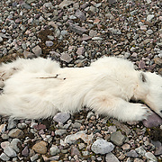 One of two dead polar bear cubs lies among the rocks of Low Island in Svalbard, Norway