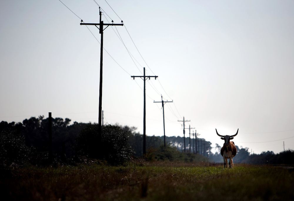 A longhorn stands next to the road in Smith Point, a town that faces East Bay and the Bolivar Peninsula, Sunday September 21, 2008.