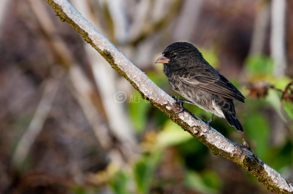 Sharp-beaked ground finch (Geospiza difficilis, male ) from genovesa, Galapagos.