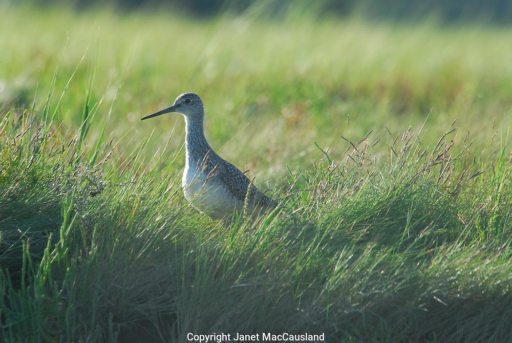 Sandpiper in Cape Cod marsh