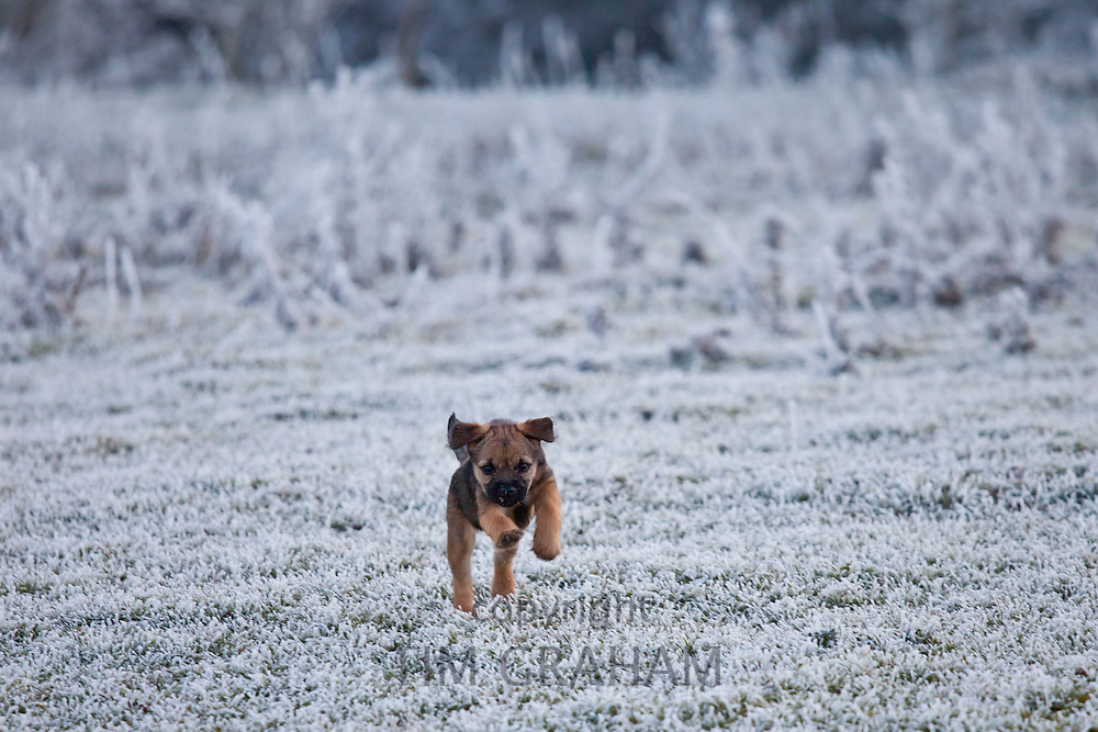 Border terrier puppy scampering in winter landscape, The Cotswolds, UK