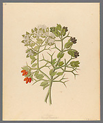 2 species of Carisfa arduina [Carissa haematocarpa] (1817) from a collection of ' Drawings of plants collected at Cape Town ' by Clemenz Heinrich, Wehdemann, 1762-1835 Collected and drawn in the Cape Colony, South Africa