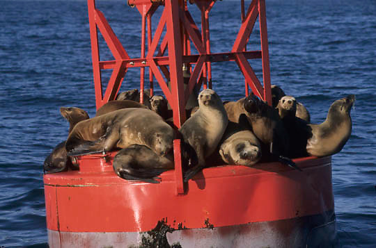California Sea Lion, (Zalophus californicenus) Using buoy in Monterey bay to sun. California.