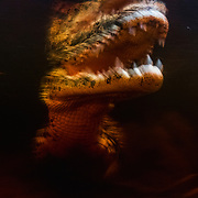 A Cuban crocodile (Crocodylus rhombifer) photographed in a cenote in Ciénaga de Zapata National Park. Cuban crocodiles and American crocodiles are interbreeding and creating hybrid offspring that threaten the survival of the Cuban species, which is down to only 4,000 individuals and listed as Critically Endangered by the IUCN.