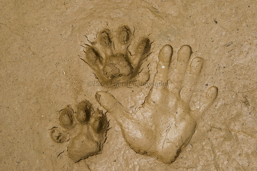 Jaguar (Panthera onca) Footprints & Hand<br /> Yasuni National Park, Amazon Rainforest<br /> ECUADOR. South America<br /> HABITAT & RANGE:  Preferred habitat is dense rainforest. Mexico across much of Central America south to Paraguay and northern Argentina.<br /> IUCN STATUS: Near Threatened.