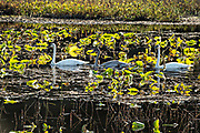 A family of trumpeter swans swim through Potter Creek at Turnagain Arm outside Anchorage, Alaska. Trumpeter swans are the largest of North American waterfowl and have a wing span of 7 feet.