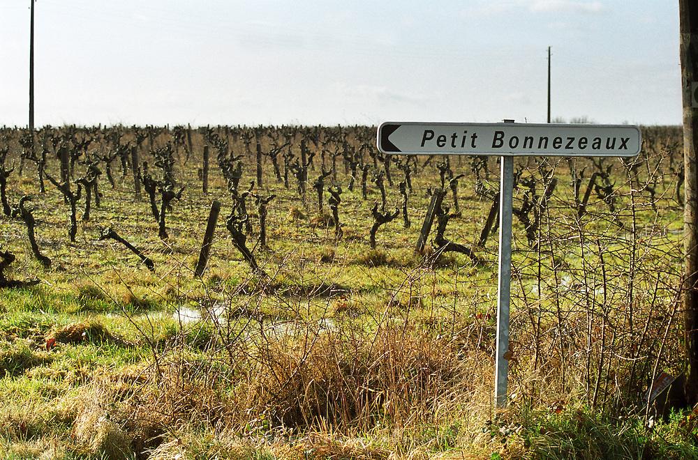 Vineyard at Petit Bonnezeaux. Coteaux du Layon, Anjou, Loire, France
