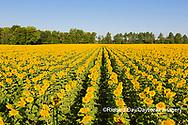 63801-11208 Sunflowers in field Jasper Co.  IL