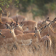 Impala, a herd in Timbavati Game Reserve, South Africa.
