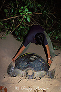 ranger at Turtle Islands Park measures green sea turtle, Chelonia mydas, after she has finished laying her eggs, Selingaan, Sabah, Borneo, Malaysia