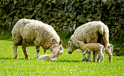 Curious sheep and lambs look on as mum licks her new born lamb.  This lamb is only seconds old.  Scottish borders,<br /> <br /> (c) Andrew Wilson   Edinburgh Elite media