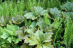 Foliage group of Rodgersia podophylla and Matteuccia struthiopteris ( Shuttlecock fern, Ostrich fern ) at Beth Chatto's garden in spring