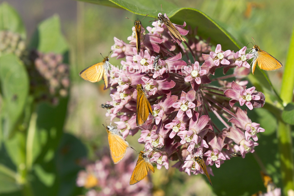 Chester, New York - Least skipper (Ancyloxypha numitor) butterflies on a common milkweed (Asclepias syriaca) plant at .Goosepond Mountain State Park on June 14, 2012.