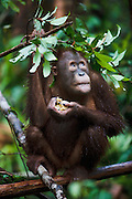A young orangutan ( Pongo pygmaeus ) makes an umbrella with leaves for protection from the rain, close-up, Borneo, Indonesia