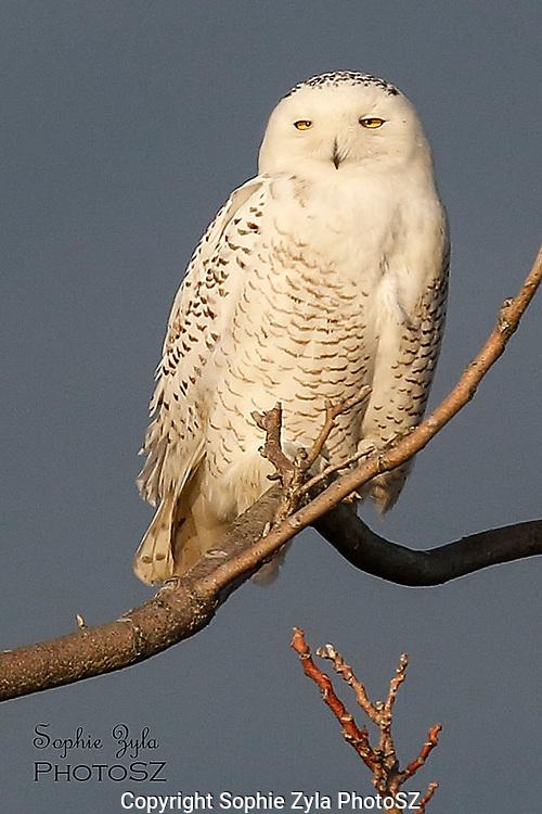 Snowy Owl Dark Sky