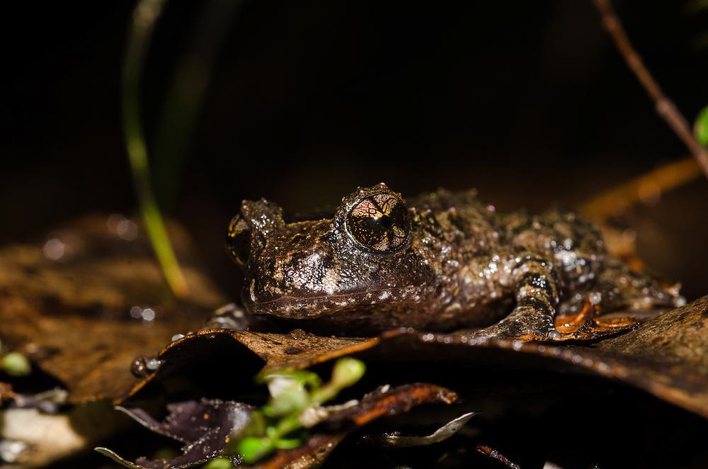 Hochstetter's frog, Leiopelma hochstetteri