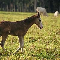 Central America, Latin America, Costa Rica. Pony wandering pastures near Puerto Jiminez on the Corcovado Peninsula.