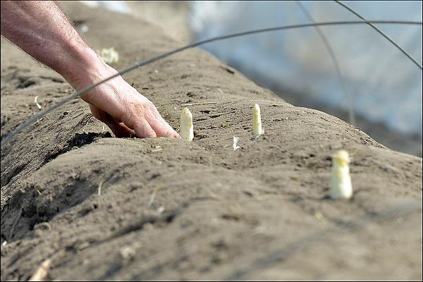 Nederland, Milsbeek, 10-4-2015Langzaam komt het aspergeseizoen op gang. De eerste kopjes steken al boven de grond uit en kunnen worden gestoken.Foto: Flip Franssen/Hollandse Hoogte