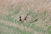 Two Ringnecked pheasants fight for dominance in South Dakota