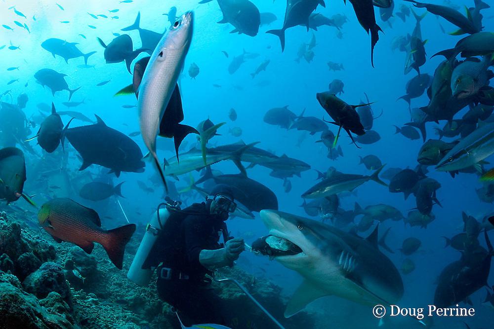 Manasa, a divemaster at Beqa Adventure Divers, feeds a silvertip shark, Carcharhinus albimarginatus, at Shark Reef Marine Reserve, Beqa Passage, Viti Levu, Fiji ( South Pacific Ocean ) MR 327