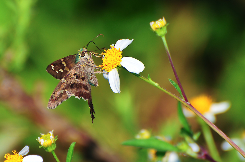 A long-tailed skipper in the dog-days of summer in the St. Marks National Wildlife Refuge in North Florida.