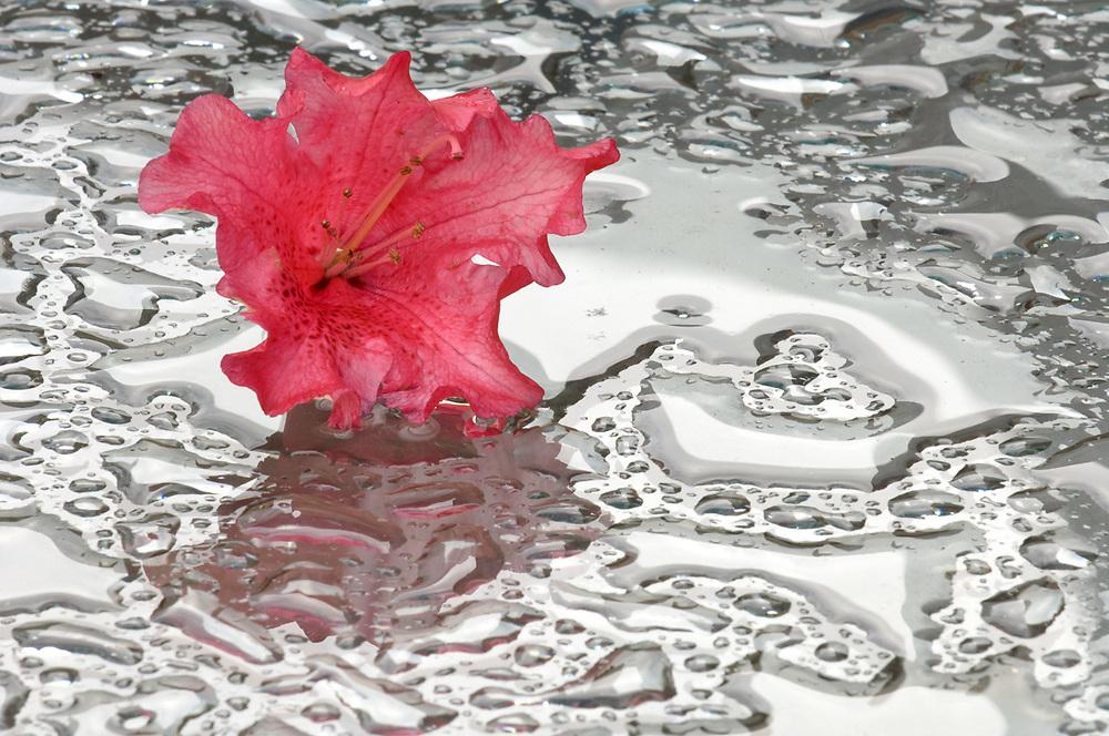 Rhododendron blossom still life, glass top picnic table with rain pools, May, Clallam County, Washington, USA