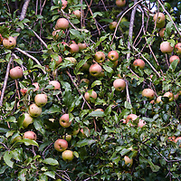 Apple tree loaded with apples ready to be picked.