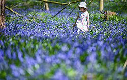 © Licensed to London News Pictures. 24/04/2021. Carmarthenshire, UK. Pictured is three-year-old Lillian Joy amongst Bluebells at Dinfwr Castle in Carmarthenshire, as the UK enjoys warm Spring weather over the weekend. Bluebells flower until late May every year, and create a carpet of beautiful blue colours in woodland across the country. Photo credit: Robert Melen/LNP