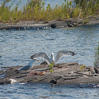 Herring Gulls (Larus argentatus) squabble over a dead fish on a rock in Lake of the Woods, Ontario, Canada.