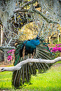 A male Indian peacock perches on a Live Oak tree limb in spring at Magnolia Plantation in Charleston, South Carolina. The plantation and gardens were built in 1676 by the Drayton Family and remains under the control of the Drayton family after 15 generations.